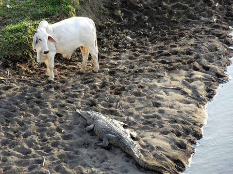 Costa Rica crocodile contre vache